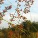 Cladium mariscus jamaicense - Photo (c) Doug Goldman, algunos derechos reservados (CC BY)