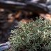 Cladonia leporina - Photo (c) Rachel Keuler, osa oikeuksista pidätetään (CC BY-NC)