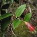 Cavendishia bracteata - Photo (c) Mateo Hernandez Schmidt,  זכויות יוצרים חלקיות (CC BY-NC-SA)