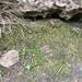 Fissidens bushii - Photo (c) Tom Neily, algunos derechos reservados (CC BY-NC)