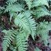 Polypodium calirhiza - Photo (c) kestrel, algunos derechos reservados (CC BY-NC), uploaded by Alison Young