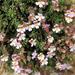 Chaenorhinum origanifolium - Photo (c) Joan Simon, algunos derechos reservados (CC BY-SA)