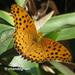 Argynnis hyperbius - Photo (c) Young Chan, algunos derechos reservados (CC BY-NC)