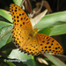 Tropical Fritillary - Photo (c) Young Chan, some rights reserved (CC BY-NC)