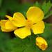 Celandine Poppy - Photo (c) Tom Potterfield, some rights reserved (CC BY-NC-SA)