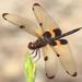 Rhyothemis phyllis - Photo (c) Jeff Melvaine, algunos derechos reservados (CC BY-NC)