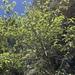 Alnus oblongifolia - Photo (c) CK Kelly, osa oikeuksista pidätetään (CC BY)