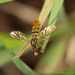 Toxomerus floralis - Photo (c) william van Niekerk,  זכויות יוצרים חלקיות (CC BY-NC)