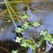 Lenteja de Agua - Photo (c) Andrew Simon, algunos derechos reservados (CC BY-NC)