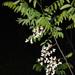 Robinia pseudoacacia - Photo (c) Doug Goldman,  זכויות יוצרים חלקיות (CC BY)