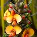 Dillwynia sericea - Photo (c) Bill Higham,  זכויות יוצרים חלקיות (CC BY-NC-ND)