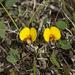Bossiaea prostrata - Photo (c) Nuytsia@Tas, algunos derechos reservados (CC BY-NC-SA)