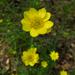 Ranunculus californicus - Photo (c) Josh*m, osa oikeuksista pidätetään (CC BY-NC-SA)