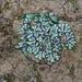 Riccia inflexa - Photo (c) johneichler, μερικά δικαιώματα διατηρούνται (CC BY-NC)