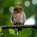 Jungle Owlet - Photo (c) hasheed, some rights reserved (CC BY-NC)