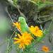 Forpus passerinus - Photo (c) nicovr,  זכויות יוצרים חלקיות (CC BY-NC)