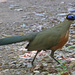 Giant Coua - Photo (c) Jerry Oldenettel, some rights reserved (CC BY-NC-SA)