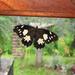 Mariposa Sátira de Parche Amarillo - Photo (c) Rogelio Martínez, algunos derechos reservados (CC BY-NC)