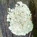 Líquen de Roca - Photo (c) Frank Izaguirre, algunos derechos reservados (CC BY-NC)