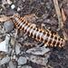 Appalachioria separanda - Photo (c) Frank Izaguirre, algunos derechos reservados (CC BY-NC)