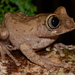 Gaboon Forest Tree Frog - Photo no rights reserved