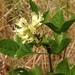 Rupertia physodes - Photo (c) Ken-ichi Ueda, algunos derechos reservados (CC BY)