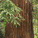 Coast Redwood - Photo (c) JJ Johnson, some rights reserved (CC BY-NC)