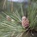 Pinus pseudostrobus - Photo (c) Manlio Martínez Barona, μερικά δικαιώματα διατηρούνται (CC BY-NC)