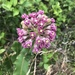 Asclepias amplexicaulis - Photo (c) dennisminsky, μερικά δικαιώματα διατηρούνται (CC BY-NC)