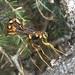 Megarhyssa nortoni quebecensis - Photo no rights reserved