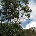 Piper barbatum - Photo (c) Mateo Hernandez Schmidt, μερικά δικαιώματα διατηρούνται (CC BY-NC-SA)