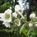 Rubus robustus - Photo (c) Mateo Hernandez Schmidt, algunos derechos reservados (CC BY-NC-SA)