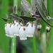 Chamaedaphne calyculata - Photo (c) Charlotte Bill, algunos derechos reservados (CC BY-NC)