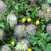 Clematis tangutica - Photo (c) Bob Franklin, algunos derechos reservados (CC BY-NC-ND)