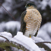 Sharp-shinned Hawk - Photo (c) Rick Leche - Photography, some rights reserved (CC BY-NC-ND)