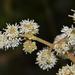 Miconia cataractae - Photo (c) humbertomendozacifuentes, algunos derechos reservados (CC BY-NC)