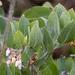 Arctostaphylos columbiana - Photo (c) Jim Johnson, algunos derechos reservados (CC BY-NC-ND)