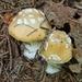Amanita junquillea - Photo (c) laurenthoff, μερικά δικαιώματα διατηρούνται (CC BY-NC)