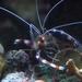 Stenopus hispidus - Photo (c) Pierre-Louis Stenger, μερικά δικαιώματα διατηρούνται (CC BY-NC)