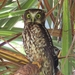 Morepork - Photo (c) lynetteb, some rights reserved (CC BY-NC)
