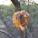 Western Gall Rust - Photo (c) Tayler, some rights reserved (CC BY-NC)
