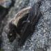 Βόρεια Τρανονυχτερίδα - Photo (c) Audun Eriksen, μερικά δικαιώματα διατηρούνται (CC BY-NC)