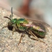 Golden Sweat Bee - Photo (c) Denis Doucet, some rights reserved (CC BY-NC)