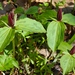 Trillium sessile - Photo (c) Fluff Berger,  זכויות יוצרים חלקיות (CC BY-SA)