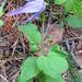 Clematis occidentalis grosseserrata - Photo (c) Carita Bergman, algunos derechos reservados (CC BY-NC-ND)