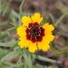 Coreopsis basalis - Photo (c) Ryan McDaniel, osa oikeuksista pidätetään (CC BY-NC)