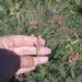 Onobrychis miniata - Photo (c) Katerina, osa oikeuksista pidätetään (CC BY-NC)