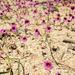 Erythranthe diffusa - Photo (c) Colin Barrows, algunos derechos reservados (CC BY-NC)