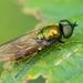 Chloromyia - Photo (c) Marie Lou Legrand, algunos derechos reservados (CC BY-NC)