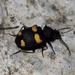 Craspedophorus mandarinus - Photo (c) sunnetchan, some rights reserved (CC BY-NC-SA)